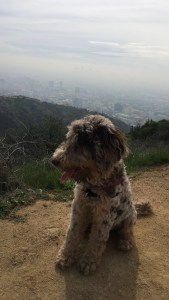 Drover at Runyon Canyon