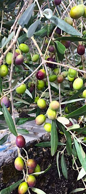 oliva-feketedik