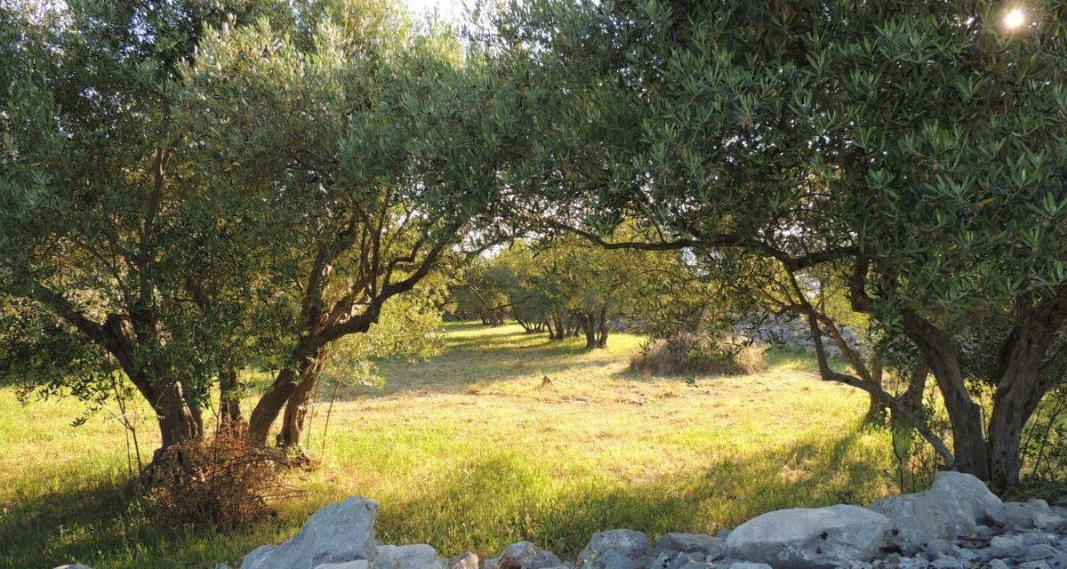 Olíva szüret Krk szigeten