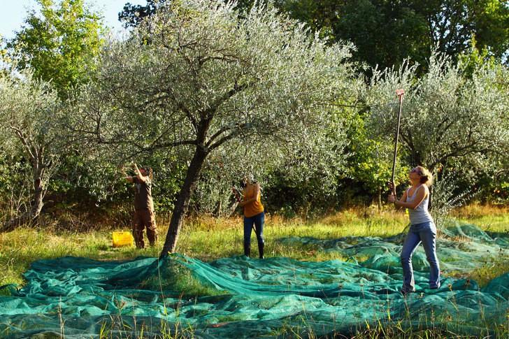 Olíva szüret 2