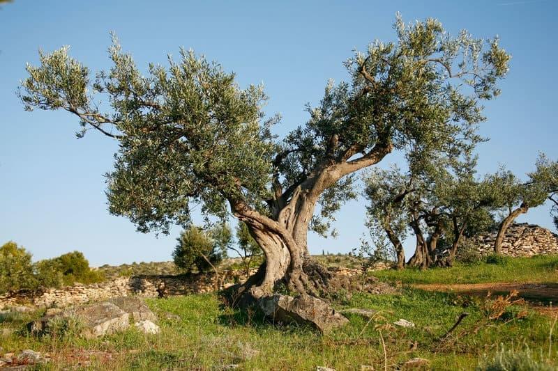 Oliva szüret Krk szigeten