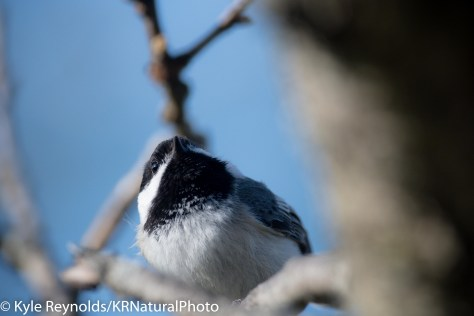 Looking up at a black capped chickadee perched on a branch of an oak tree in the finger lakes region of upstate, New York.