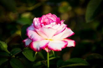 A pink and white rose