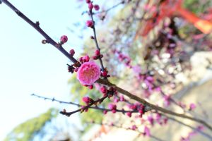 JAPAN / PLUM BLOSSOM