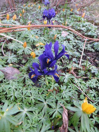 Vintergäcken börjar blomma över och likaså våririsen.