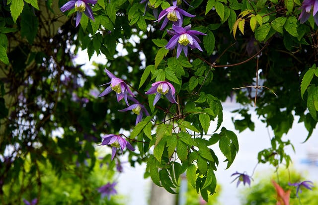Clematis, fot. flickr.com, dan.kristiansen, CC BY-NC-ND 2.0