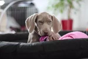 Köpek için Lenhing: Anahtar anların tanımı, kendi elleriyle birlikte adım adım talimatlar imalatı (140+ fotoğraflar ve video) + Yorumlar