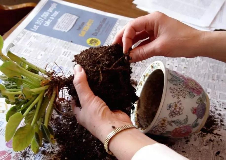 Трансплантациялаушы өсімдіктерді ауыстырып тиеу әдісімен