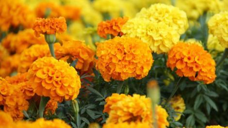 Marigold planting method