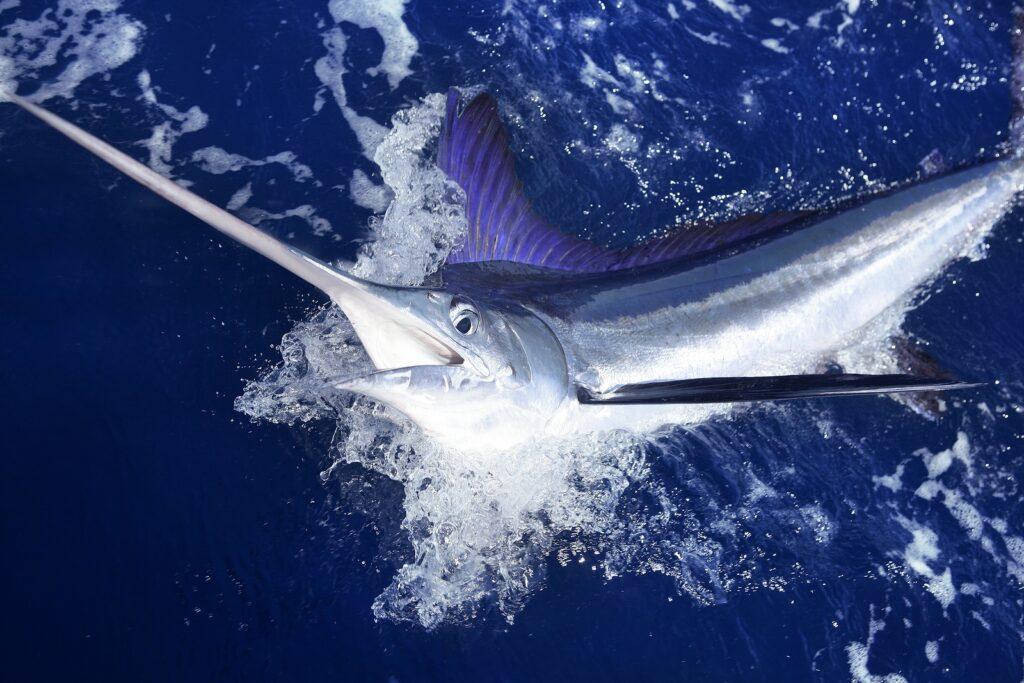 Marlin fish , Cancun by Krystal Cancun Timeshare