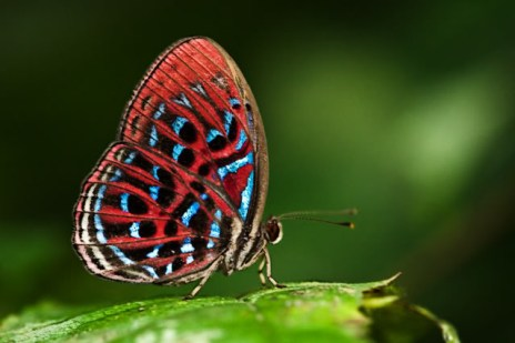 Butterflies use brilliant colors for a variety of purposes - to attract potential mates, to advertise their unpalatability, or to warn avian predators. They tend to occupy sunlit areas. Not so with the Malay Red Harlequin, which is normally seen only as a silhouette in the shadowy undergrowth.