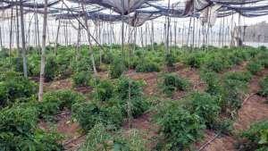 Tröpfchenbewässerung beim Gemüseanbau: Tomaten und Paprikapflanzen im Gewächshaus
