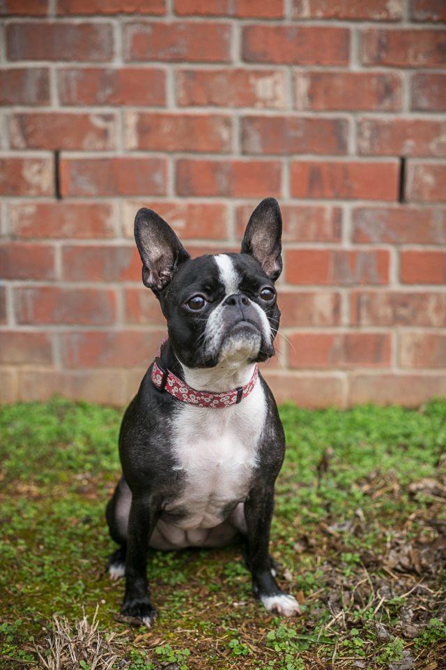 Nellie the boston terrier, french bulldog mix