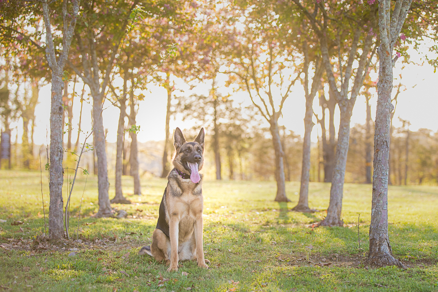 German Shepherd at Barfield Crescent Park