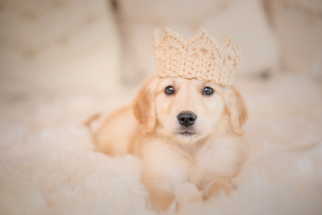 puppy wearing a crown