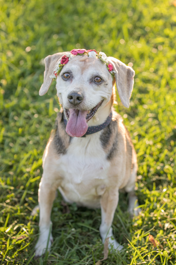 Senior dog photos, beagle with a flower crown