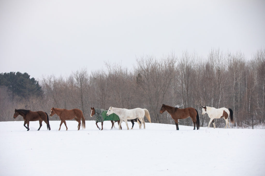 horses in a snowy field