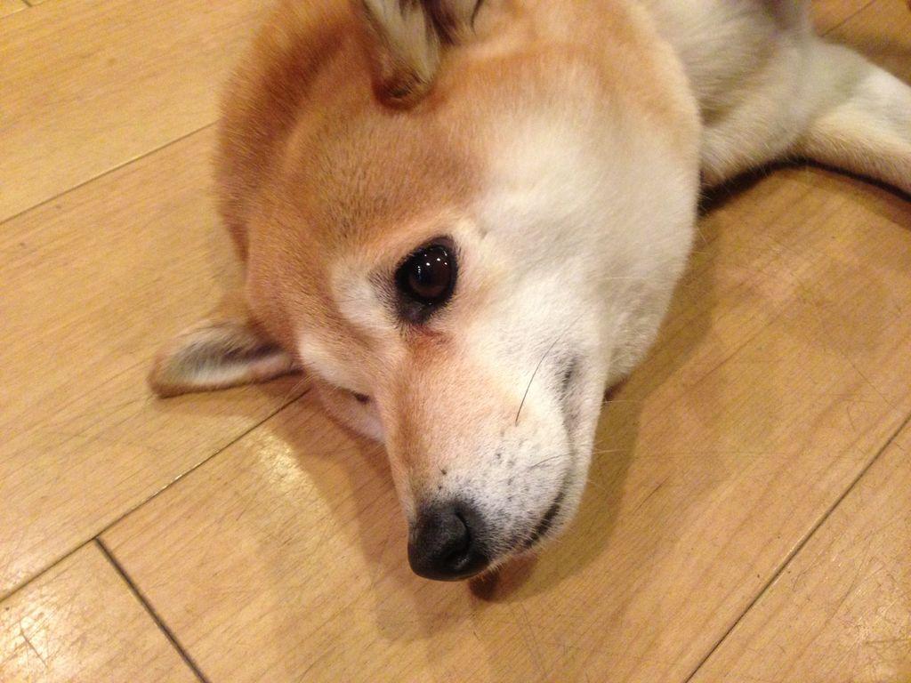 札幌 激カワ看板犬トモちゃんが居る喫茶『オットー』でワンちゃんをモフモフ出来るので紹介!