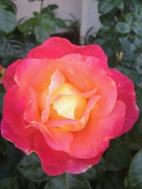 & roses, too!