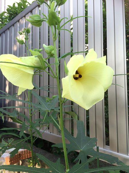 『花オクラ』が、毎朝咲いてくれます