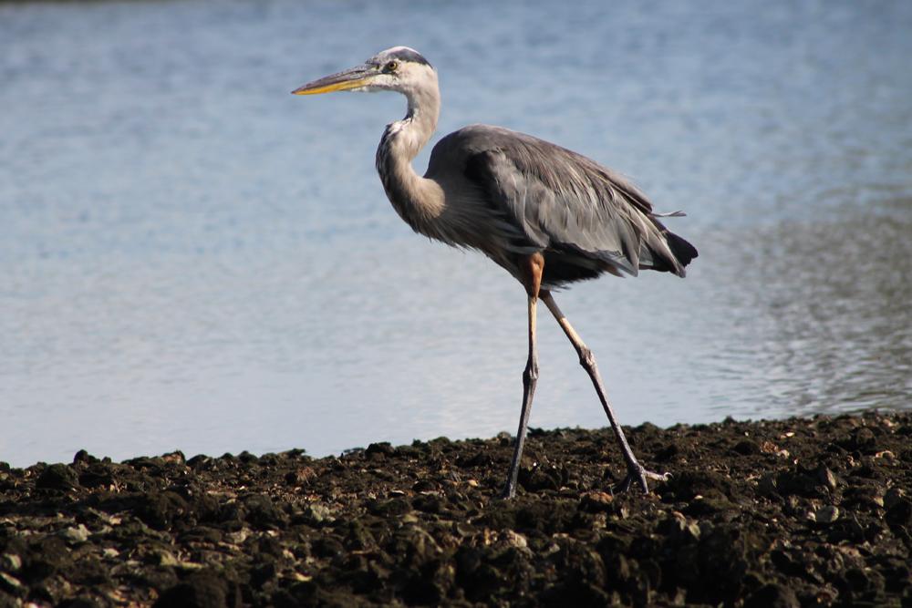 Great Blue Heron on Mason Creek
