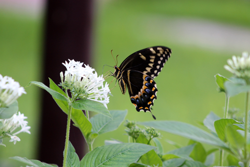 Butterflies in the Garden, Eastern Swallowtail