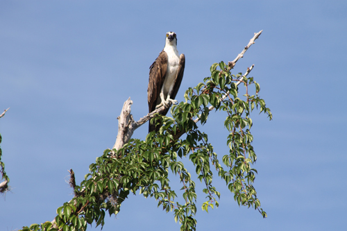 Osprey on Mason Creek