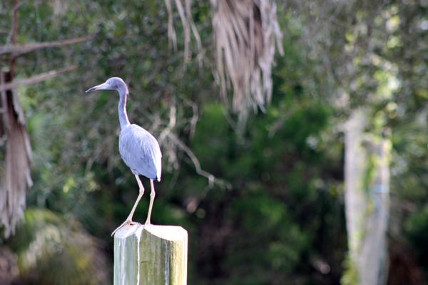 Little Blue Heron on Mason creek