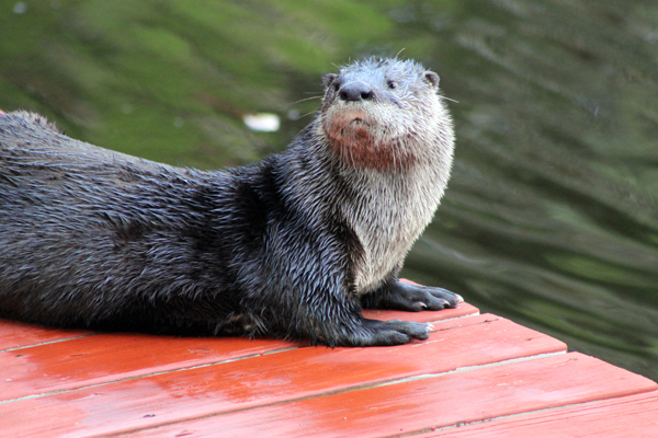 Otter on the kayak dock, It's the paparazzi, I'm outta here!