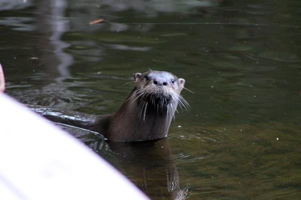 Otter on the kayak ramp
