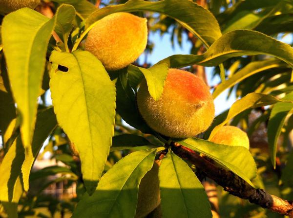 Wee Peaches