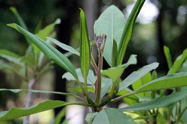 plumeria in bud