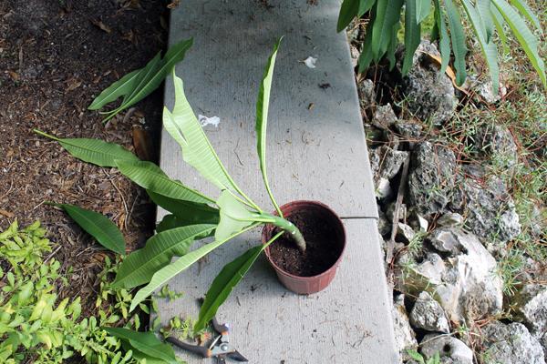 In the Garden -- Plumerias