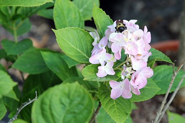 bee in hydrangea