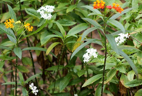 Butterfly Flowers, penta and milkweed