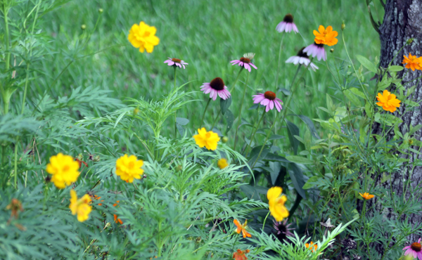 Cosmos and Coneflower