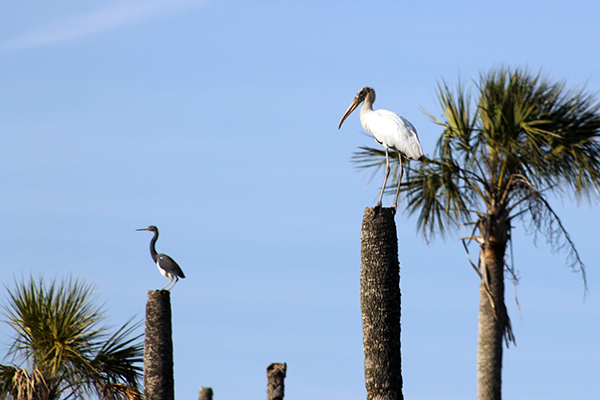 Wood Stork Blue Heron