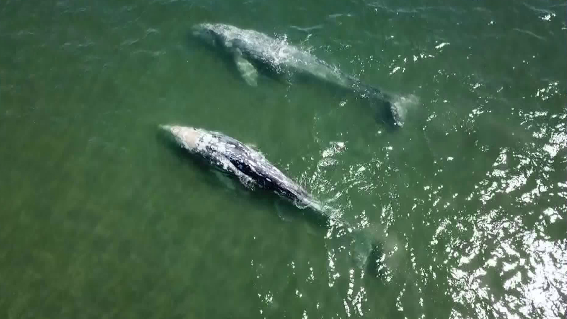 A pair of whales were swimming in the San Gabriel River near the Marina Drive Bridge, off the coast of Seal Beach on March 26, 2018. (Credit: KTLA)