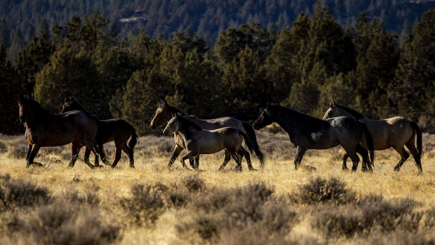 Wild horses roam in Modoc National Forest near the city of Alturas in Northern California in this undated image. (Credit: Kent Nishimura / Los Angeles Times)