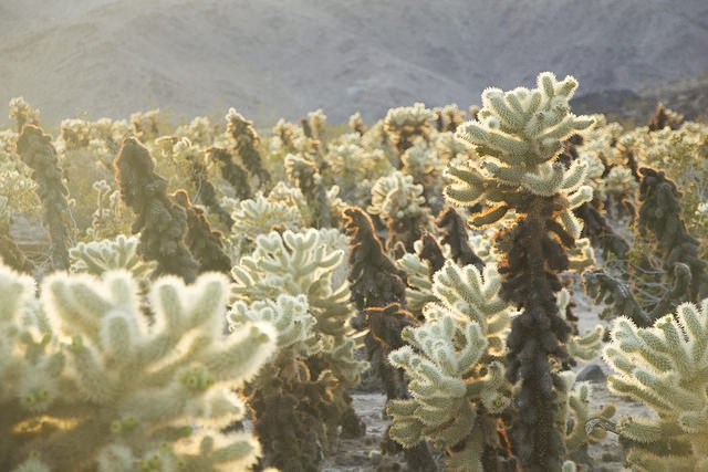 Cacti in the Bigelow Cholla Garden Wilderness within Mojave Trails National Monument is seen in a photo tweeted by Joshua Tree National Park in December 2017.