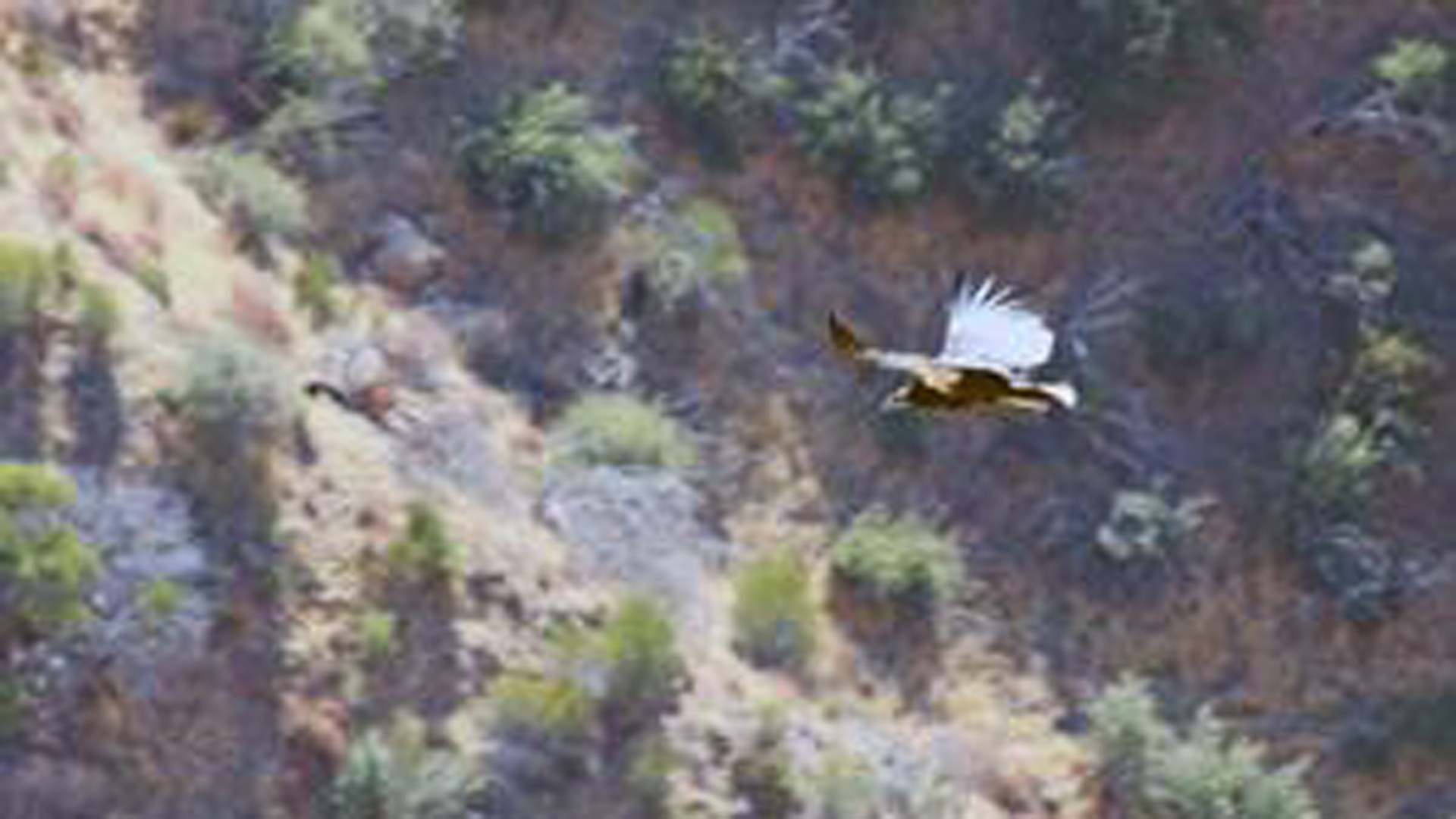California condor 933 successfully fledges in Santa Barbara County. (Credit: Santa Barbara Zoo via U.S. Fish and Wildlife Service)