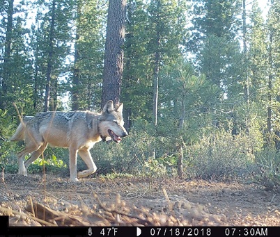 An adult gray wolf is seen in the Lassen National Forest in Northern California on July 18, 2018, in a photo released by the state Department of Fish and Wildlife.