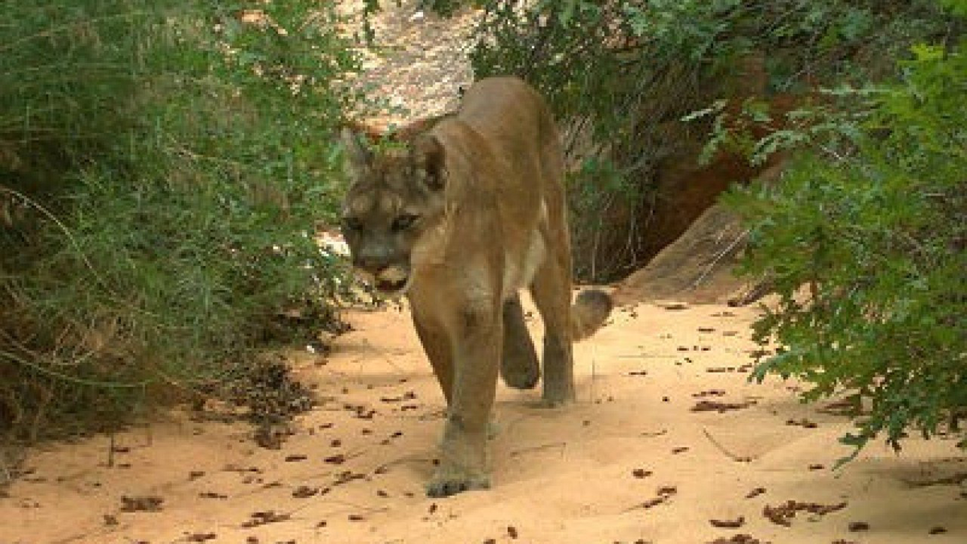 A mountain lion is seen in a file photo from the National Park Service and distributed by CNN.