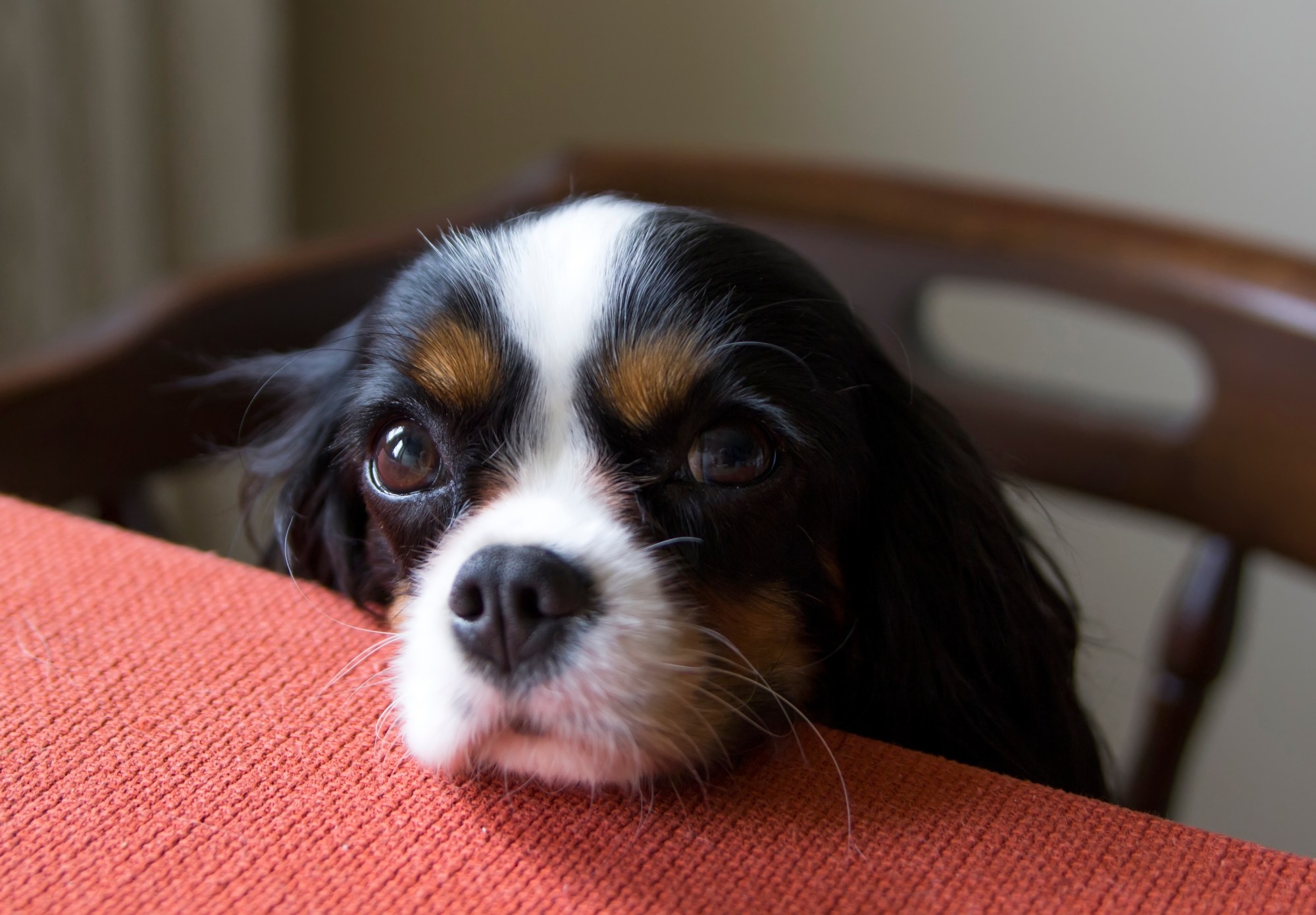 A cute dog begging for food at the table is seen in this file photo. (Credit: iStock / Getty Images Plus)