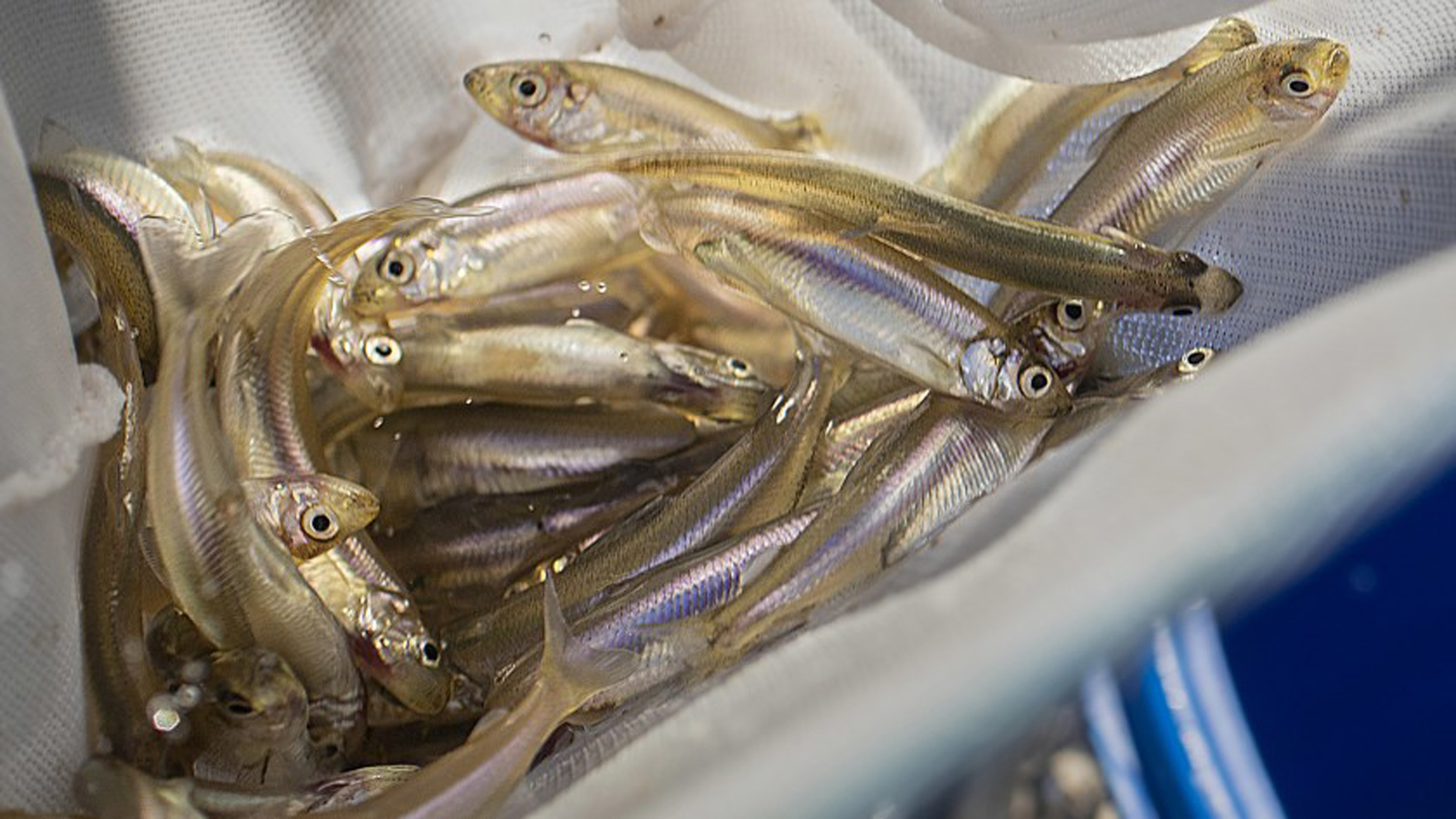 Massive water exports have upended the delta's natural hydrologic rhythms and helped push native fish, such as the delta smelt and winter-run Chinook salmon, to the brink of extinction. In this file photo, federally endangered delta smelt that were hatched at the UC Davis Fish Conservation & Culture Lab are transferred to a holding tank at the Aquarium of the Pacific in Long Beach.(Credit: Allen J. Schaben / Los Angeles Times)