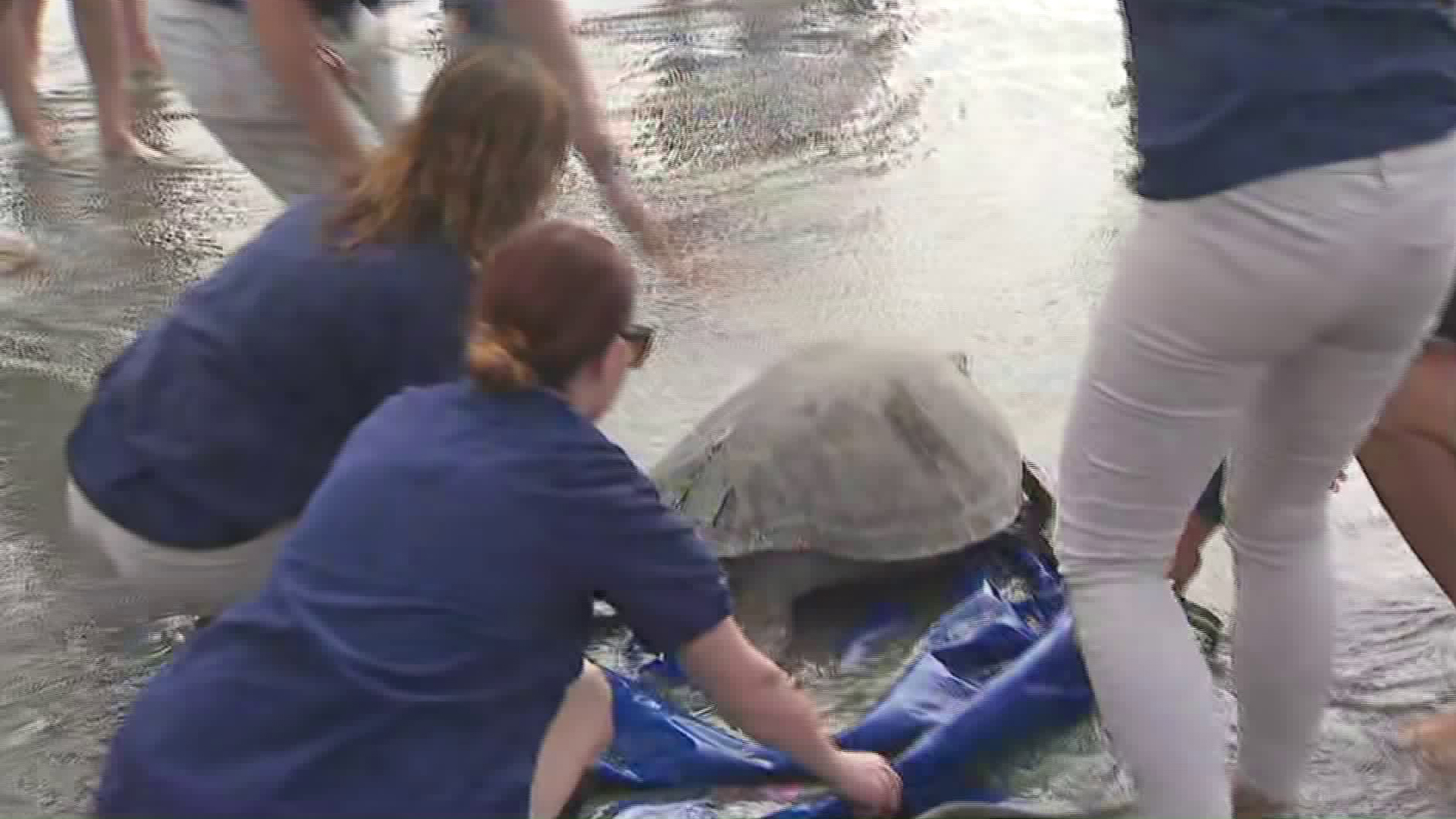 Staffers with the Aquarium of the Pacific released a 160-pound sea turtle back into the wiled near the mouth of the San Gabriel River in Seal Beach on Oct. 8, 2019.(Credit: KTLA)