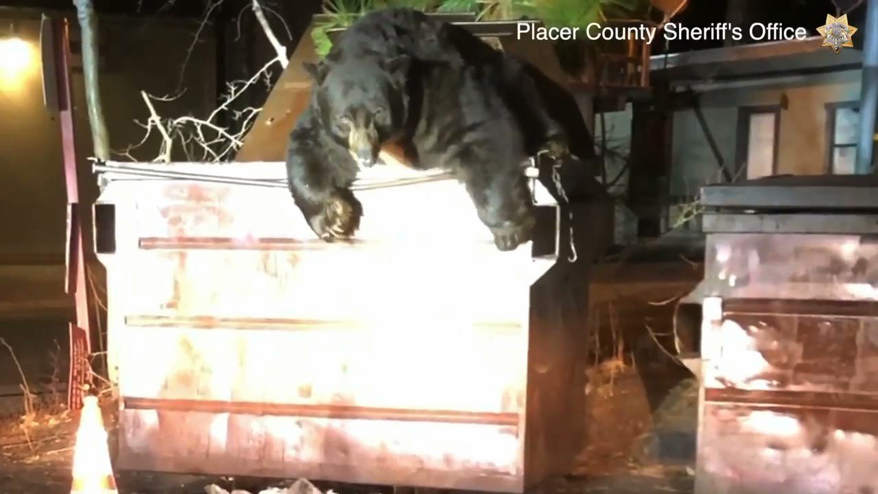 A bear emerges from a dumpster in a still from footage released Nov. 5, 2019, by the Placer County Sheriff's Office.