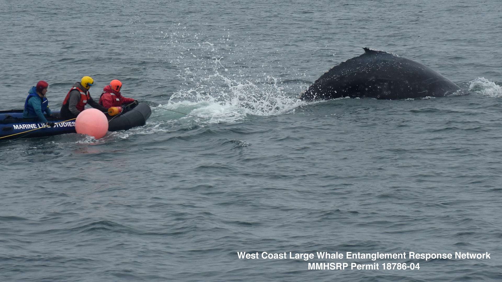A young humpback whale that was entangled in fishing gear in Monterey Bay is freed by the Marine Life Studies Whale Entanglement Team on Dec. 13, 2019. (Credit: Marine Life Studies)