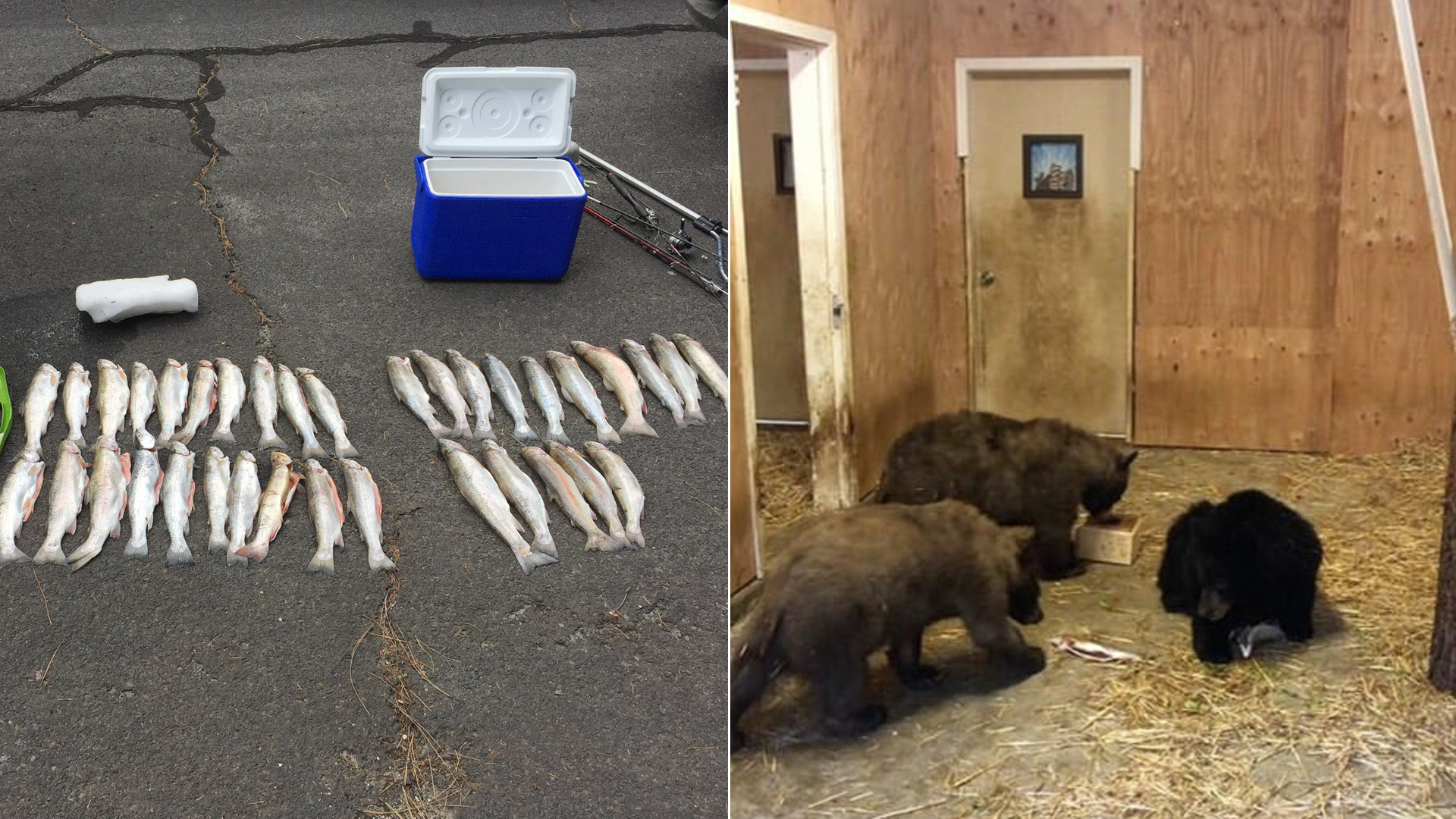 Trout and bears are seen in these photos released by the California Department of Fish and Wildlife on Dec. 11, 2019.