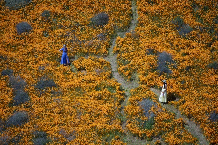Visitors pose for photos in the middle of the Lake Elsinore poppy fields in Walker Canyon in spring 2019. (Credit: Allen J. Schaben / Los Angeles Times)